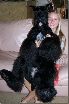 Giant schnauzer lovin anyone? lol cute