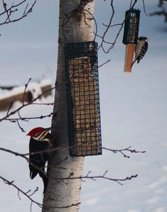 Pileated and downy!