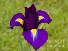 Fine Art America, Iris, Digital Art, Wall Art, Garden, Posters, Flowers, Artwork, Plants