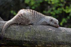 Striped Mongoose (Mungos mungo) / status: Least concern