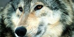 Top Ten Wolf-Dog Hybrid HD Wallpapers Free Download - Topely.com | Top Ten Things of the World.