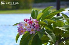 ホテル園内には一年中南国の花々が咲く楽園。 写真は彩と香りが華やかなプルメリア。 花言葉は、情熱・熱心・気品・風刺。