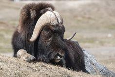 Un bœuf musqué particulièrement détendu.   14 Photos D'animaux Canadiens Qui Illumineront Ta Journée