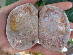 150g NATURAL fossil fish poisson trias madagascar
