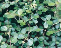 Small Leaf Creeping Wire Vine Muehlenbeckia axillaris - planted in pot, by back stairs