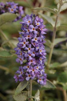 Flutterby Petite(TM) Blue Heaven Butterfly Bush PP22069