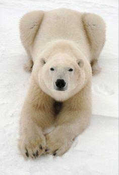 Zoo Animals, Animals And Pets, Funny Animals, Cute Animals, Bear Photos, Bear Pictures, Animal Pictures, Bear Doll, Bear Art