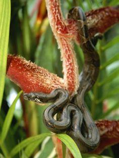 Boa Constrictor #snakes #reptiles #topanimals