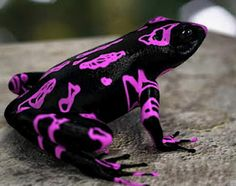 "Looks like someone doodled on a black frog...  ""Atelopus Frog"" aka Clown Frog from Costa Rica"