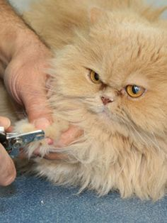 Pet Car 101: Grooming Your Cat #pets #cats