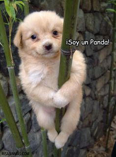¡Soy un Panda!