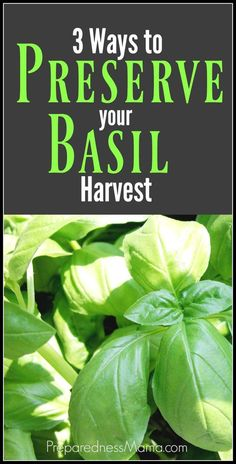 3 simple ways to preserve basil after the harvest. Learn to make basil & olive oil cubes for quick saute, salt dried basil, and get dehydrating instructions Growing Herbs, Growing Vegetables, Preserving Basil, Basil Harvesting, Pruning Basil, Freezing Basil, Freezing Fresh Herbs, Storing Basil, Preserve Fresh Herbs