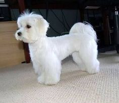 How to groom and trim Maltese Dog Haircuts Styles Pictures long and short. In summer or winter these hairstyles of Maltese always suitable according to nature. Havanese Puppies, Maltese Dogs, Chihuahua, Yorkie, Maltipoo Haircuts, Dog Haircuts, Dog Hairstyles, Dog Grooming Styles, Pet Grooming