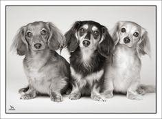My Frostdox Dachshunds now living in Florida. Picture is by Top Dog Imaging.