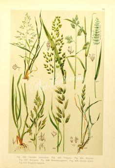 poa trivialis, glyceria spectabilis, dactylis glomerata, cynosurus cristatus, festuca elatior, bromus mollis, lolium perenne      ...
