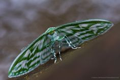 Dyspteris tenuivitta | by Primeval Nature