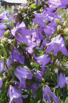Campanula trachelium Seeds £1.85 from Chiltern Seeds - Chiltern Seeds Secure Online Seed Catalogue and Shop