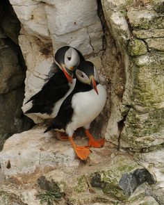 Puffin pair..Puffins mate for life