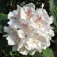 https://flic.kr/p/rRFUTd | Beautiful rhododendron in Kew Gardens! #upsticksandgo #roddie #flowers #naturephoto #travelgram #travellingtheworld #michfrost #kewgardens #uk #white #rhododendron