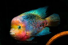 Rainbow cichlid  -  The rainbow cichlid (Archocentrus multispinosus) is a tropical freshwater Central American fish of the cichlid family. This species is found in lakes and swamps with muddy bottoms where it uses its specialized teeth and only 3.5% jaw protrusion to feed mostly on algae. It is commercially important as an aquarium fish: quite peaceful compared to other Central American cichlids, it is a suitable and hardy fish for most aquariums.