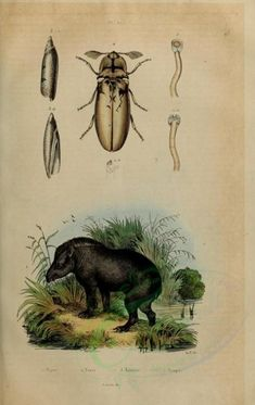 Tapir - high resolution image from old book. Old Book Pages, Vintage Scrapbook, Art Clipart, Old Paper, Picture Collection, Scrapbook Paper Crafts, Science And Nature, Wall Collage, Animals Beautiful