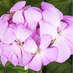 Wunderschöne Balkonblumen im bellaflora Online Shop Rose, Flowers, Plants, Pink Blossom, Nice Asses, Pink, Plant, Roses, Royal Icing Flowers