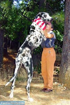 Tallest Great Dane.... My goodness! I feel bad for the owner considering those pups think they're lap dogs. ;)