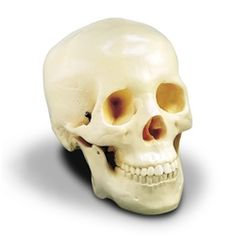 Budget Anatomical Skull Model is a plastic, life-size, adult skull. This anatomical skull model features a movable jaw on springs and an uncut calvarium. Size: 5 inches (width) x inches (height) x 6 inches (depth). Halloween Scene, Halloween Skeletons, Halloween Skull, Scary Halloween, Halloween Themes, Halloween 2015, Types Of Bones, Skull Model, Skull Anatomy