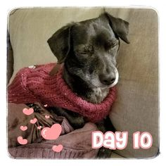 Counting down to Valentine's Day with the things I love.   Being warm and cuddly is a true love of mine and this sweater does just that. Not only does this sweater keep me warm but it keeps me stylin.   What clothes do you love?  #14daysofvalentines #ilove #mysweater #doglove #dogsinsweaters #favoritethings #happydog #cutedog #love #comfydog #dogsofseattle #seattledogs #chihuahuasofinstagram #chihuahua #ilovemychihuahua #chihuahuasofig #dogoftheday #dogsofinstagram #dogstagram #chiweenie…