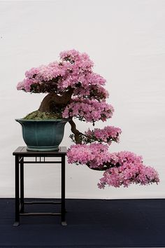 IMG_0080 Bonsai Art, Bonsai Plants, Bonsai Garden, Garden Plants, Bonsai Jacaranda, Bougainvillea Bonsai, Ikebana, Bonsai Azalea, Bonsai Tree Types