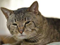 Killed at ACC!! :( TO BE DESTROYED 2/18/15 *NYC* POOR, SCARED TOMCAT! * Manhattan Center * Cici is displaying behaviors that preclude placement in the adoptions room. He is stressed in the shelter environment and does not currently tolerate petting. Please foster, adopt or pledge to save this poor boy now! *   My name is CICI. My Animal ID # is A1027903. I am a male brn tabby dom sh mix. I am about 7.  I came in as a STRAY on 02/13/2015 from NY 10458