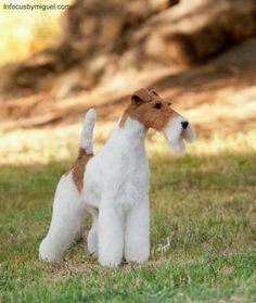 Sweet!!! Sky the Wire Fox Terrier