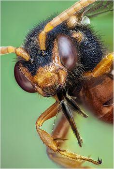 Nomada sp Himenoptera