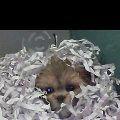 Lhasa Apsa puppy. I want another one of these.....