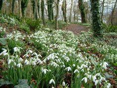 tavaszi virágok: A hóvirág , a tavasz hirnökeErdők mélyén , fák t...