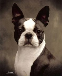 a beauty of a Boston Terrier