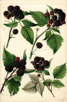Seeking superior fine art prints of Black Raspberries by William Henry Prestele? Customize the size, media & framing for your style. Vintage Botanical Prints, Botanical Drawings, Botanical Art, Botanical Illustration, Engraving Illustration, Floral Illustrations, Fauna, Art Pages, Vintage Flowers