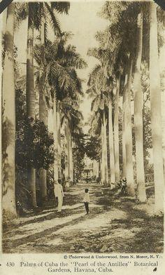 POSTCARD - Palms of Cuba the Pearl of the Antilles Botanical Gardens, Havana, Cuba ~ circa 1923