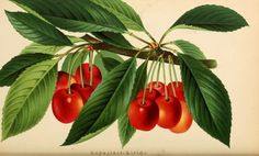 Cherries. Plate from 'Rheinisches Jahrbuch  fur Gartenkunde und Botanik.' Published 1883 by E. Strauss in Bonn   archive.org