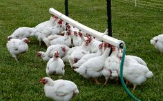 farm info on free-range meat chickens - NOT pastured poultry kept in tiny quarters Pet Chickens, Raising Chickens, Chickens Backyard, Pvc Chicken Waterer, Chicken Coops, Automatic Chicken Waterer, Automatic Watering System, Down On The Farm, Hobby Farms