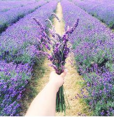 Lavender. Mayfield Lavender Farm, South London