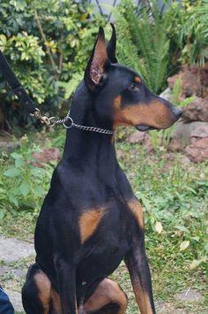 Doberman Beautiful Dog Breeds, Most Beautiful Dogs, Animals Beautiful, Happy Animals, Cute Animals, American Doberman, Nice Dogs, Doberman Love, Dog Pounds