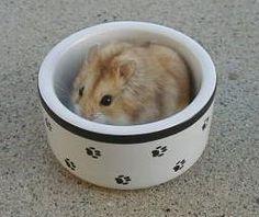 Brindle argente hamster (odd eyed) Animal mutations or