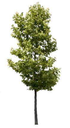 Plane tree - Small