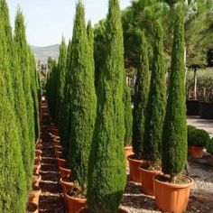 Italian Cypress Tree Seeds (Cupressus sempervirens) - Under The Sun Seeds - 1