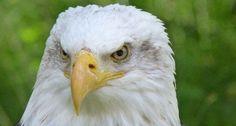 Bald Eagle (120 pieces)