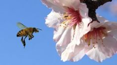 """If the two pesticides are safe for bees on their own, what's the problem? Mussen says that almond growers are combining them along with substances called adjuvants—which are used to enhance the performance of pesticides—and then spraying the resulting cocktail on crops. ""It now seems that when you roll these three things together, it has very negative consequences on the bees,"" Mullen told me."""
