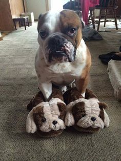 He does NOT look happy to be sporting bulldog bedroom slippers!! haha