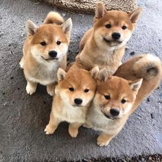 e1072886736  shiba dog animal cute funny Funny Dog Pictures