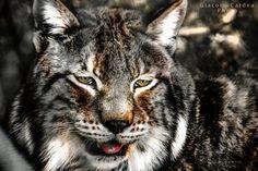 Lynx by Giacomo Cardea on 500px